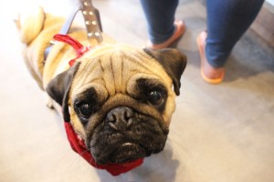 pug boy looks at the camera at pop up pug cafe