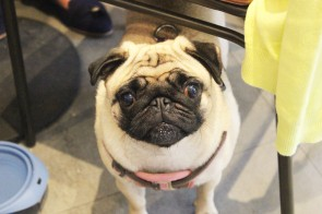 cute pug looks at the camera at pop up pug cafe