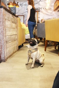 pug sitting nicely at pop up pug cafe