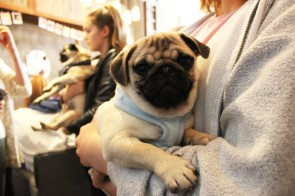 pug is carried at pop up pug cafe