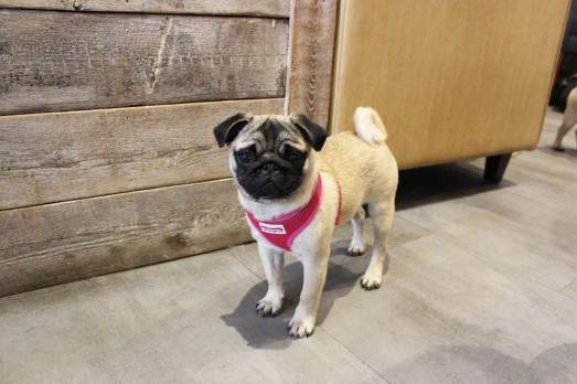 puppy with pink harness at pop up pug cafe