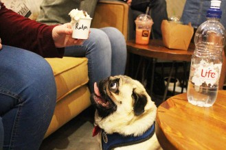 pug waits for puguccino at pop up pug cafe