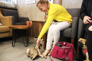 girl strokes pug at pop up pug cafe