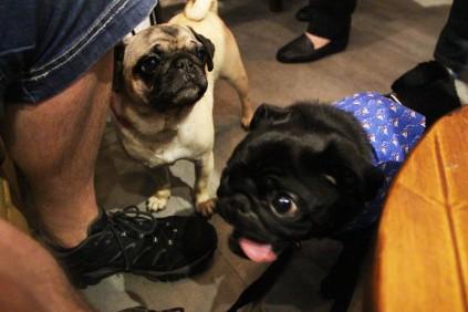 cute pugs at pop up pug cafe