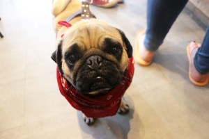 cute pug with red bandana at pop up pug cafe