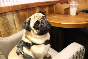 handsome pug boy looks up at pop up pug cafe