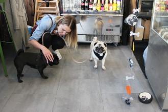 pugs having fun at pop up pug cafe