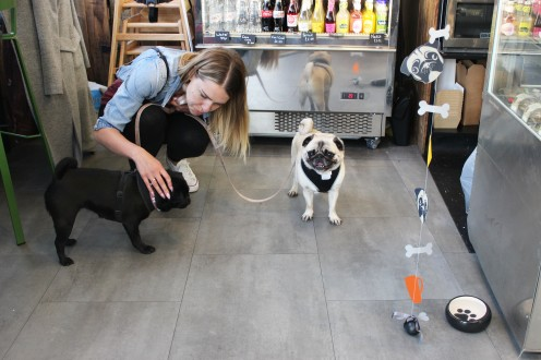 pugs having fun at pop up pug cafe