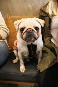beautiful white pug at pop up pug cafe
