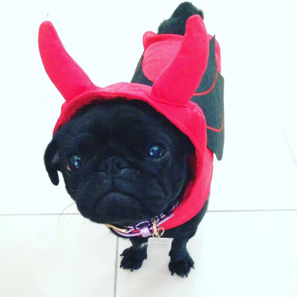 Pug Cafe Halloween
