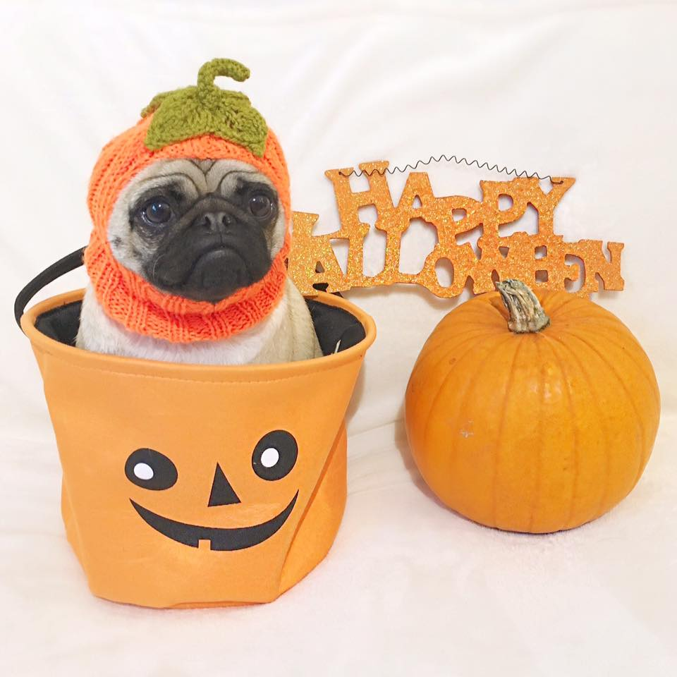 Pug in a Pumpkin Cafe