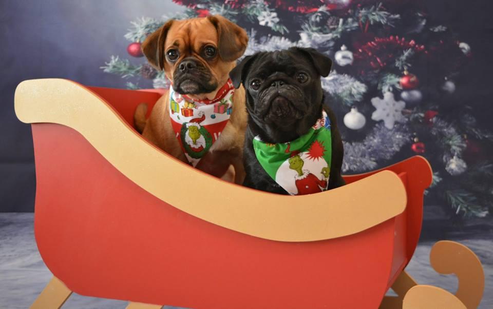 Christmas Pug Cafe