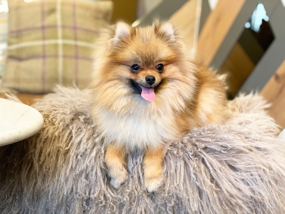 Pom Cafe London Tiny Pomeranian Sitting on Cushion