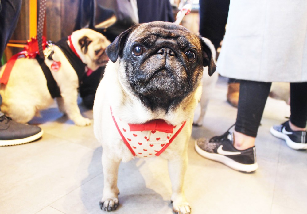 valentine's day pug in harness derby cafe