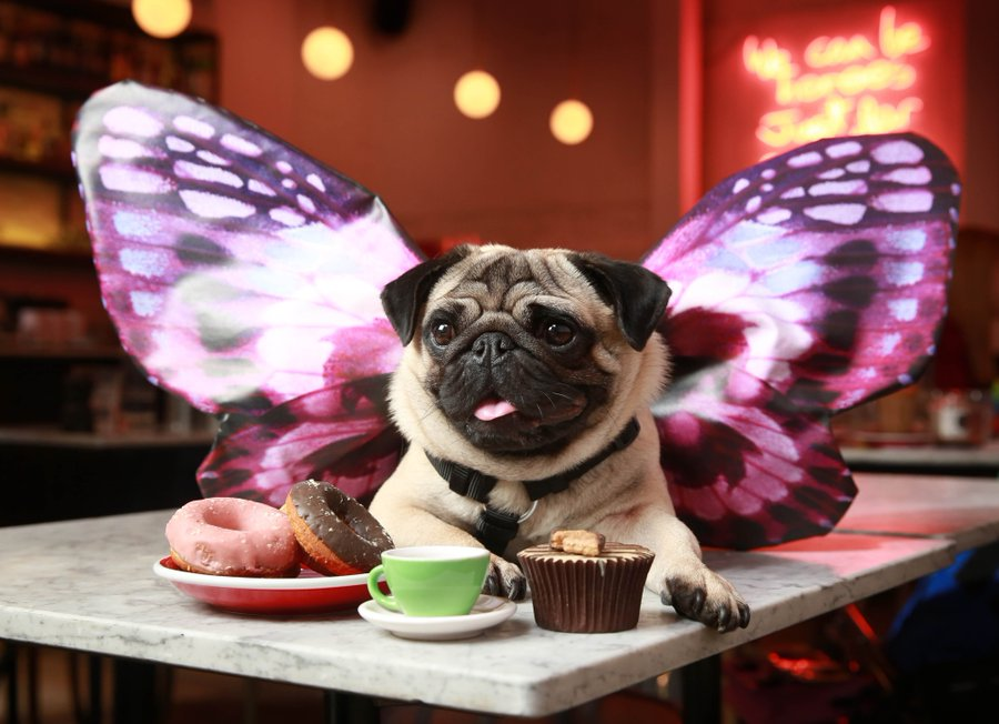 Pug Cafe Puggerfly Bertie About Us