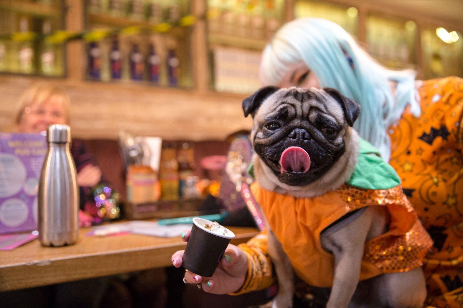 pug cafe halloween free pupuccinos
